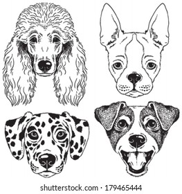 A set of 4 dog's faces: Poodle, Boston Terrier, Dalmatian, Fox Terrier. Black and white vector sketches.
