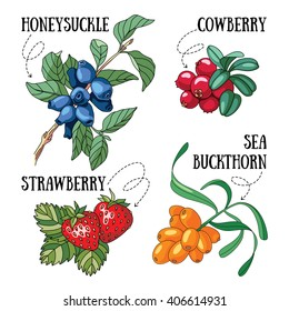Set of 4 vector forest berries illustrations.