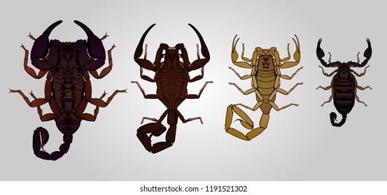 Set of 4 vector scorpions. From left to right: Emperor, Neotropical, Deathstalker and Italian scorpion.