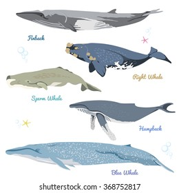 Set of 5 detailed whales from the world / realistic icons / vector illustration include finback, right whale, sperm whale, humpback, blue whale