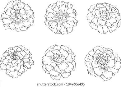 Marigold Outline Images Stock Photos Vectors Shutterstock