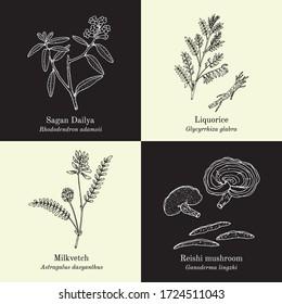 Set of adaptogenic medicinal plants. Hand drawn botanical vector illustration