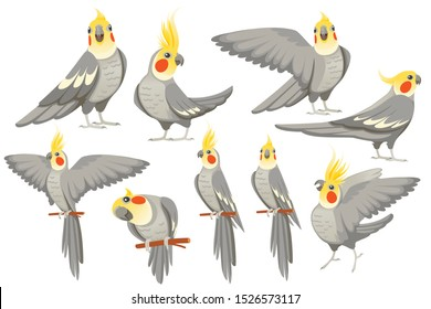Set of adult parrot of normal grey cockatiel (Nymphicus hollandicus, corella) cartoon bird design flat vector illustration isolated on white background