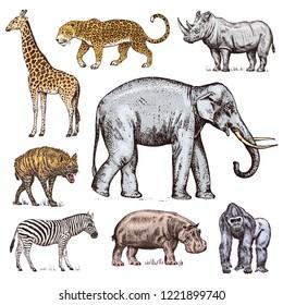 Set of African animals. Rhinoceros Elephant Giraffe Hippopotamus Leopard Hyena Western gorilla Wild zebra. Engraved hand drawn Vintage old monochrome safari sketch. Vector illustration.