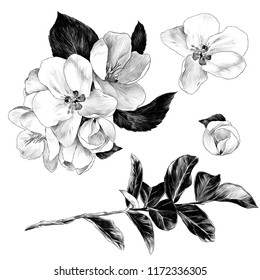 set of Apple flowers with leaves on a branch, sketch vector graphics monochrome illustration on white background
