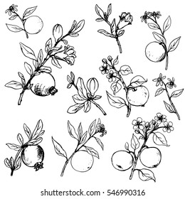 set of apple, pomegranate and orange tree branches with fruits, leaves, buds and flowers,isolated hand drawn vector elements
