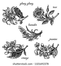 Set of aromatic flowers. Ylang ylang, rose, lavender, orange and jasmine. Engraving style. Vector ilustration.
