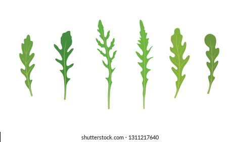 Set of arugula rucola, rocket salad fresh green leaves isolated over white background.