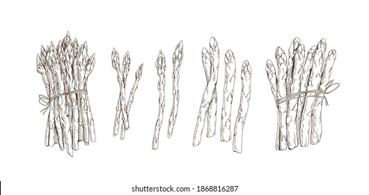 Set of asparagus stems and bound bunches isolated on white background. Collection of black and white vegetables. Hand-drawn monochrome realistic vector illustration