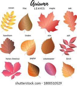 set of autumn leaves. 12 types of leaves with names. vector set.