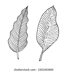 Set of banana tree and philodendron leaf. Monochrome doodle sketch, hand drawing. Black outline on white background. Vector illustration