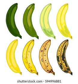 Set bananas varying degrees of maturation, vector illustration