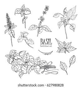 Set of basil plant. Contour hand drawn collection. Vector illustration.