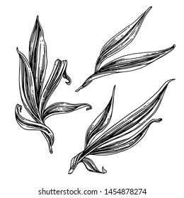 Set of beautiful long leaves. Sketch. Engraving style. Vector illustration.
