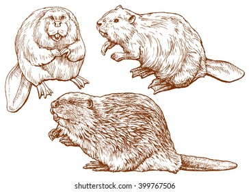Set of beavers - hand drawn vector illustration, isolated on white