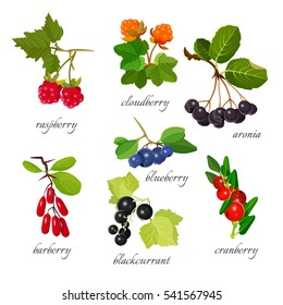 Set of berries with leaves botanical vector illustration. Red raspberry, barberry and cranberry, black aronia with blackcurrant, orange cloudberry and blueberry. Collection of small edible fruits