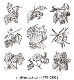 Set berries. raspberry, blueberry, sea buckthorn, red currants, strawberry, gooseberry, watermelon, cloudberry, dog rose, engraved hand drawn in old sketch, vintage style.