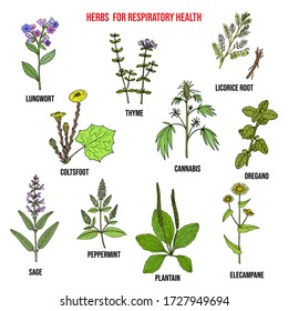 Set of best herbs for lung support and respiratory health. Hand drawn botanical vector illustration