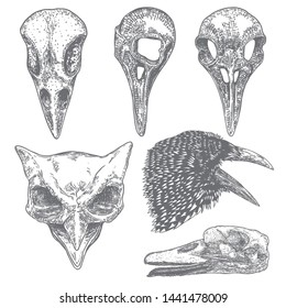Set of bird raven skull. Hand drawn crow skull, owl, and duck line art sketch of animal head. Drawing by hand Boho style. Witchcraft, voodoo magic attribute for Halloween. Vector.