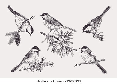 Set of birds. Chickadee on coniferous branches. Vector illustration. Black and white.
