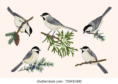 Set of birds on coniferous branches. Illustration with titmouse. Colorful.