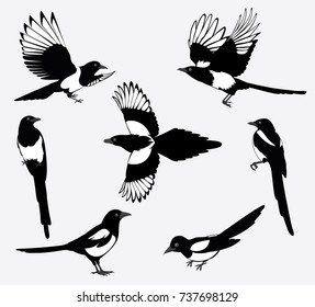 Set of black isolated vector silhouettes of birds (magpie). Bird Poses. Vector illustration.