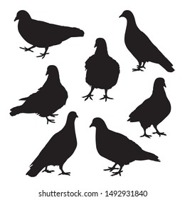 Set of black pigeon shadow isolated on white background. Group of pet dove silhouette action walk on the ground. Birds icon cartoon character portrait figure standing.
