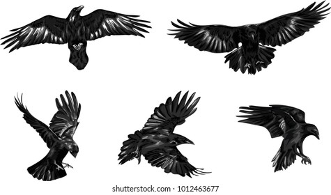 Set of black ravens. Hand drawn vector birds