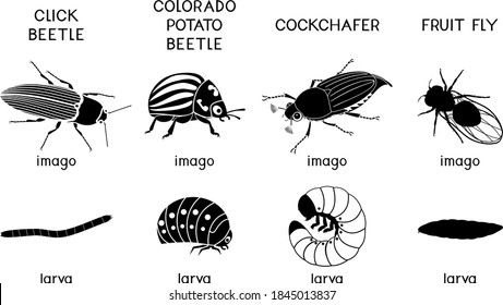 Set of black silhouettes of insect pests of agricultural plants (click beetle, colorado potato beetle, cockchafer and fruit fly) isolated on white background