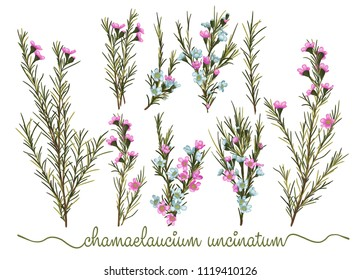 Set of botanic floral elements. Chamaelaucium (waxflower) collection with leaves and flowers, drawing watercolor. Pattern of flowers isolated over white background.