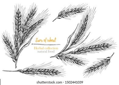 Set botany hand drawn sketch Ears of wheat sheaf isolated on white background. Engraving style. Herbal frame. Natural food collection