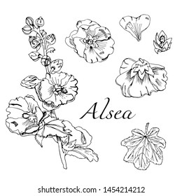 Set with  bouquet and single flowers of mallow and leaves. Hand drawn ink sketch. Black elements of malva flowers isolated on white background. Vector illustration.