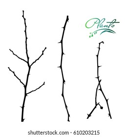 Set of branches acacia with thorns. Winter branches without leaves. Collection of medicinal plants. Detailed vector illustration.