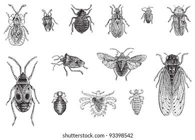 Set of bugs, cicada and louses / vintage illustration from Meyers Konversations-Lexikon 1897