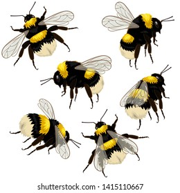Set of bumblebees isolated on white background in different angles. Vector illustration.