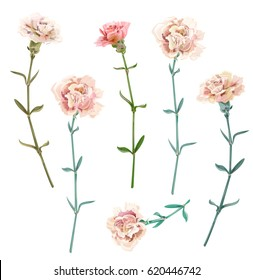 Set of carnation schabaud, white, pink flowers, green stems, leaves on white background, isolated, collection for Mother's Day, Victory day, digital draw, vintage illustration, vector