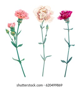 Set of carnation schabaud, white, pink, red flowers, buds, green stem, leaves on white background, collection for Mother's Day, victory day, digital draw, vintage illustration, vector