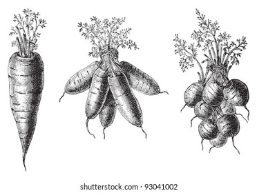 Set of carrots - vegetable / vintage illustration from Meyers Konversations-Lexikon 1897