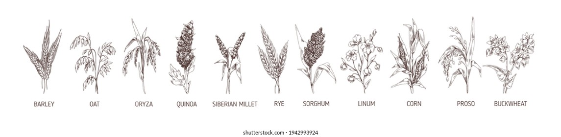 Set of cereal plants. Crops of barley, rye, corn, buckwheat, flax, oat, proso, quinoa, rice, Siberian millet and sorghum. Drawn vector illustration of detailed spikelets isolated on white background