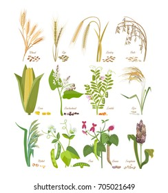 Set of cereals and legumes, grain plants with leaves, flowers, seeds: wheat, rye, barley, oats, corn, millet, sorghum, rice, buckwheat, peas, beans, lentils. Agriculture harvest. Vector illustration.