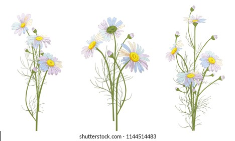 Set of Chamomile (Daisy) bouquets, white flowers, buds, green leaves, stems. Realistic botanical sketch on white background for design, hand draw illustration in vintage style, vector