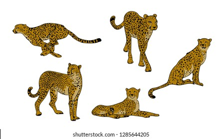 Set of Cheetahs (Acinonyx jubatus) isolated on white background, vector illustration