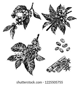 set of Coffee tree, coffee beans and cinnamon and cardamon in graphic style hand on white background.
