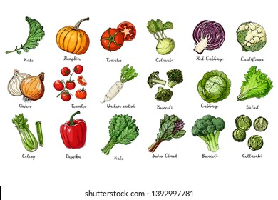 Set of colored vegetables. Fresh food.  Kale, pumpkin, onion, tomato, pepper, celery, cabbage, lettuce, asparagus sprouts line drawn on a white background. Vector illustration.