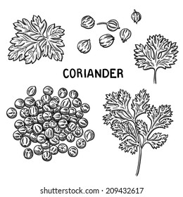 Set of Coriander illustration. Isolated on White Background. Natural spices. Compilation of vector sketches.