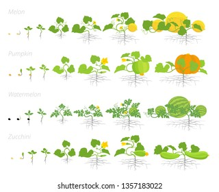 Set of cucurbitaceae plants growth animation. Pumpkin melon and watermelon zucchini or courgette plant. Vector infographics showing the progression growing plants.