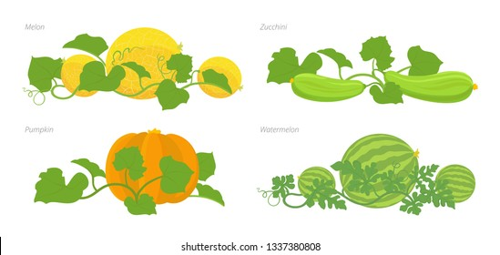 Set of cucurbitaceae plants. Pumpkin melon and watermelon zucchini or courgette plant.