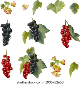 Set of currant berries with flowers and leaves isolated on white background. Vector retro illustration for packaging, cookbook, gardening.