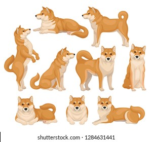 Set of cute Shiba Inu in different poses. Home pet. Dog with red-beige fur and fluffy tail. Detailed flat vector icons