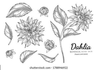 Set of Dahlia flower and leaf hand drawn botanical illustration with line art on white backgrounds.